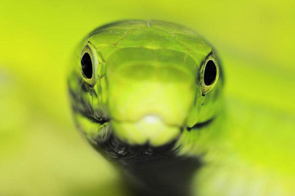 Gewöhnliche Mamba oder Blattgrüne Mamba (Dendroaspis angusticeps) / ch015403a