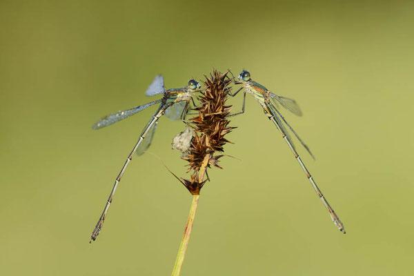 Gemeine Weidenjungfer (Lestes viridis, Chalcolestes viridis) / ch130454