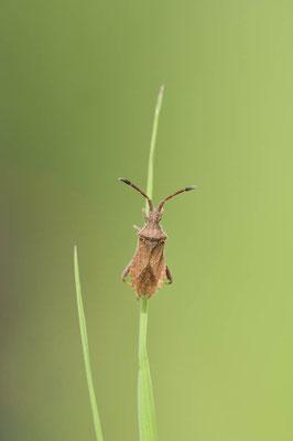 Lederwanze (Coriomeris denticulatus) / ch167944