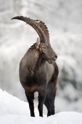 Alpensteinbock (Capra ibex) / ch104478