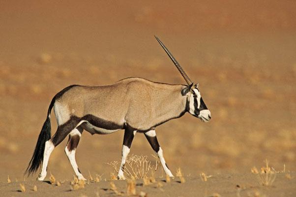 Spießbock (Oryx gazella) / chs05126