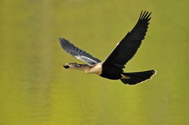Amerikanischer Schlangenhalsvogel  (Anhinga anhinga) / ch023254