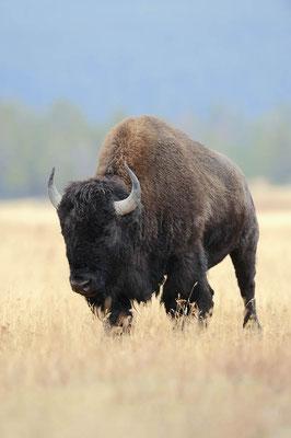 Amerikanischer Bison (Bos bison, Bison bison) / ch057582