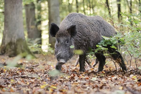 Europäisches Wildschwein (Sus scrofa scrofa) / ch184775