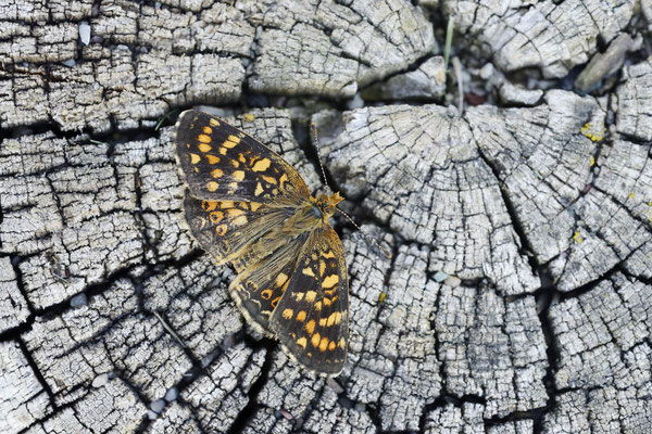 Field Crescent (Phyciodes pratensis) / ch159234
