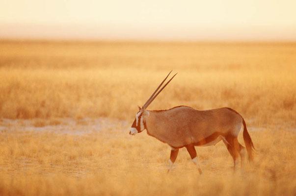 Spießbock (Oryx gazella) / chs05115