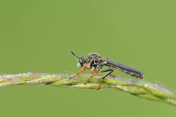 Gemeine Habichtsfliege (Dioctria hyalipennis) / ch088570