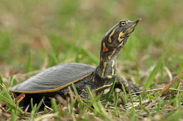 Florida Weichschildkröte (Apalone ferox, Trionyx ferox) / ch024007