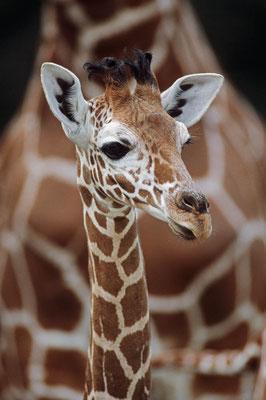 Netzgiraffe (Giraffa camelopardalis reticulata) / chs06301