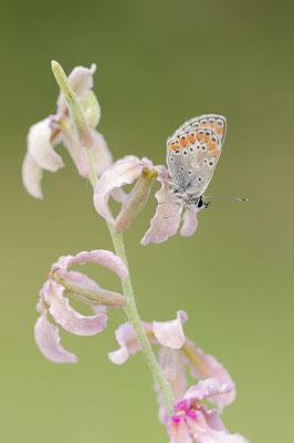 Kleiner Sonnenröschen-Bläuling (Aricia agestis) / ch109423