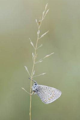 Hauhechel-Bläuling (Polyommatus icarus) / ch151501