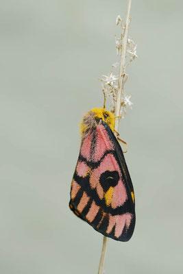 Common Sheep Moth (Hemileuca eglanterina) / ch159210