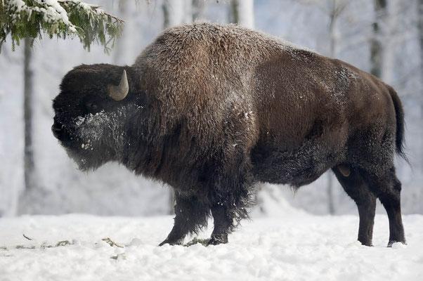 Amerikanischer Bison (Bison bison) / ch104364