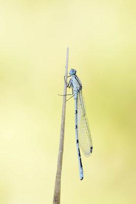 Gemeine Becherjungfer (Enallagma cyathigerum) / ch168511