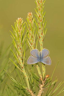 Hauhechel-Bläuling (Polyommatus icarus) / ch109379