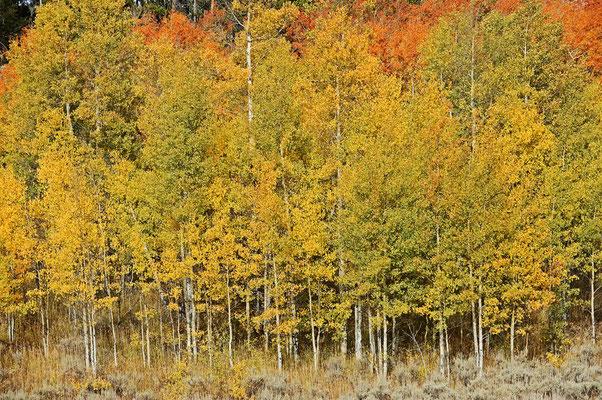 Zitterpappeln im Herbst / ch061474
