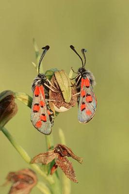 Widderchen (Zygaena rhadamanthus) / ch091411