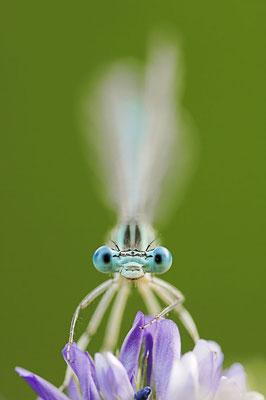 Blaue Federlibelle (Platycnemis pennipes) / ch020693