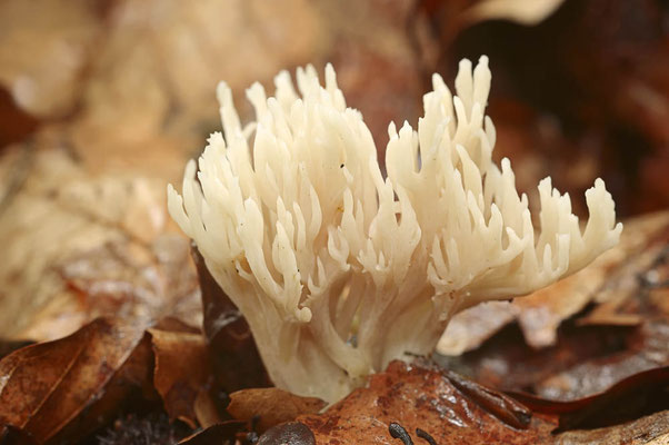 Kammförmige Koralle (Clavulina coralloides) / ch102040