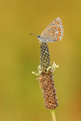 Hauhechel-Bläuling (Polyommatus icarus) / ch109396