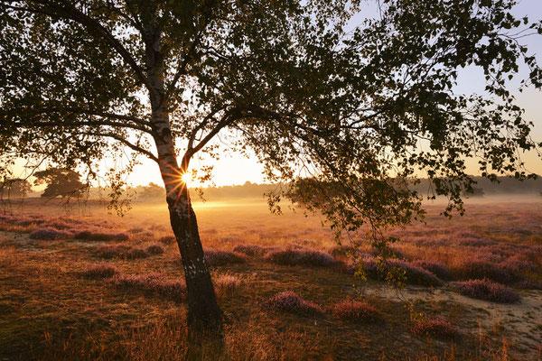 Birke in Heidelandschaft bei Sonnenaufgang / ch191335