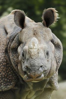 Panzernashorn (Rhinoceros unicornis) / ch010531