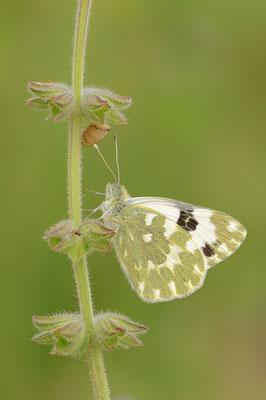 Westlicher Resedaweißling (Pontia daplidice) / ch091448