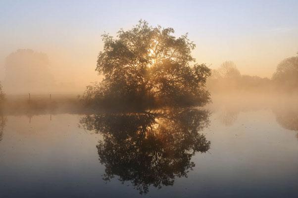 Silber-Weide (Salix alba)  an der Lippe bei Sonnenaufgang, Nordrhein-Westfalen / chpa0362