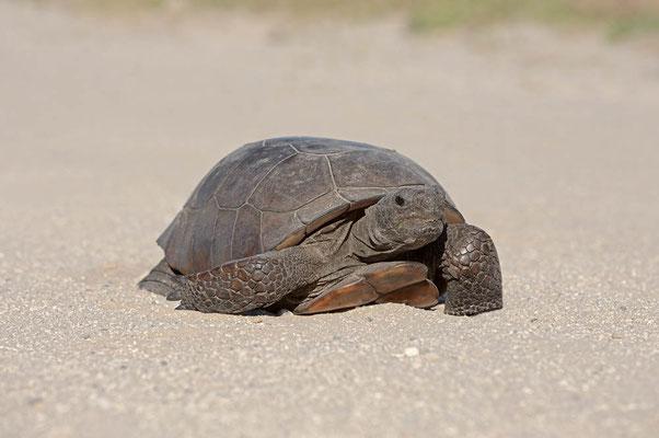 Gopherschildkröte (Gopherus polyphemus) / ch063881