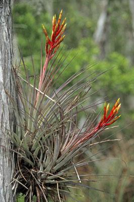 Bromelie (Tillandsia fasciculata) / chs05020