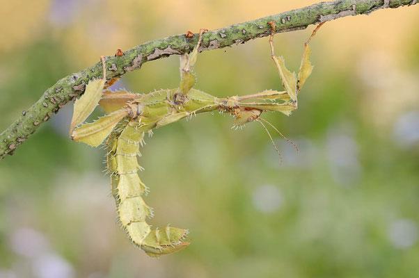 Australische Gespenstschrecke / (Extatosoma tiaratum) / ch107245