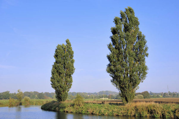 Säulen-Pappeln (Populus nigra var. italica)  an der Lippe, Nordrhein-Westfalen / ch025577