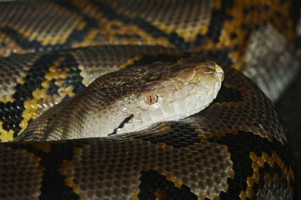 Netzpython (Malayopython reticulatus, Python reticulatus) / ch098585