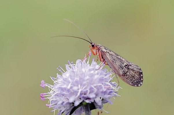Köcherfliege (Halesus tesselatus) / ch079025