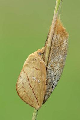 Grasglucke (Euthrix potatoria) / ch095441