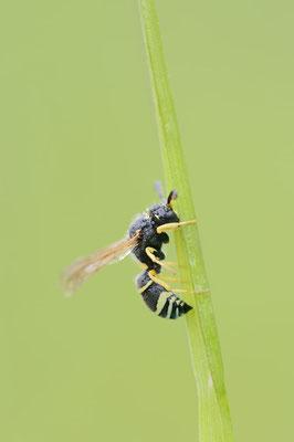 Gemeine Schornsteinwespe (Odynerus spinipes) / ch177682