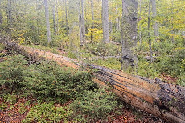 Totholz im Mischwald, Nationalpark Bayerischer Wald, Bayern / ch168836