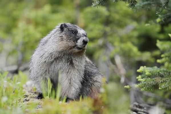 Eisgraues Murmeltier (Marmota caligata) / ch160251