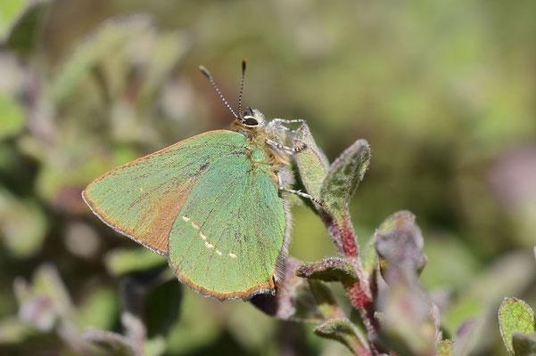 Grüner Zipfelfalter (Callophrys rubi) / ch179674