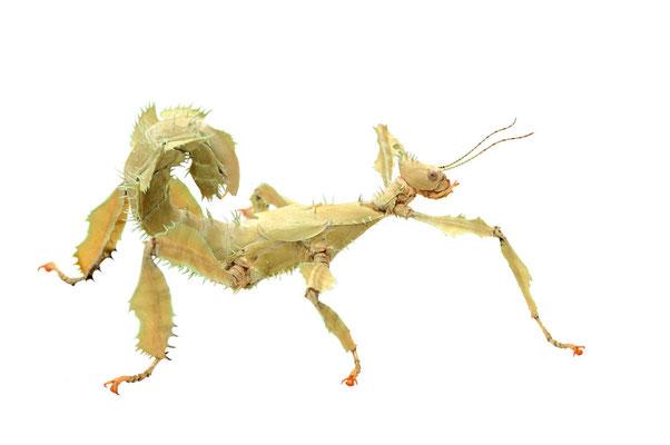 Australische Gespenstschrecke / (Extatosoma tiaratum) / ch095235