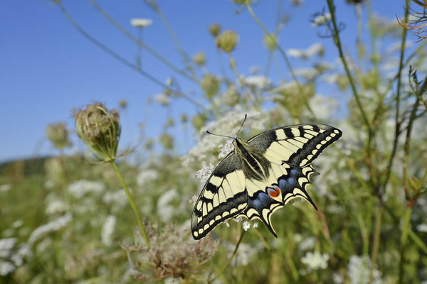 Schwalbenschwanz (Papilio machaon) / ch163680
