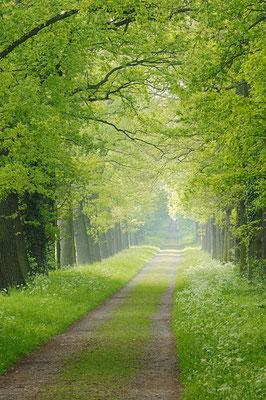 Eichenallee im Frühling, Nordrhein-Westfalen / ch012900