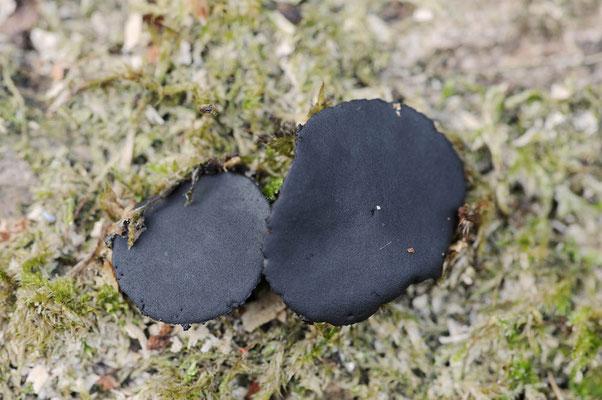 Gemeiner Schmutzbecherling (Bulgaria inquinans) / ch122038