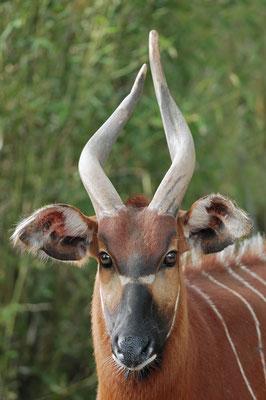 Bongo (Tragelaphus eurycerus) / ch010278