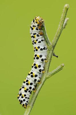 Braunwurz-Mönch (Shargacucullia scrophulariae) / ch126446