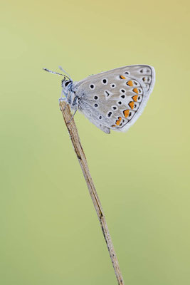 Hauhechel-Bläuling (Polyommatus icarus) / chst0029
