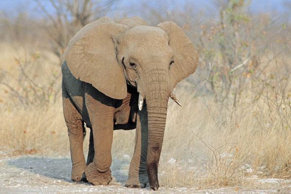 Afrikanischer Elefant (Loxodonta africana) / chs05237