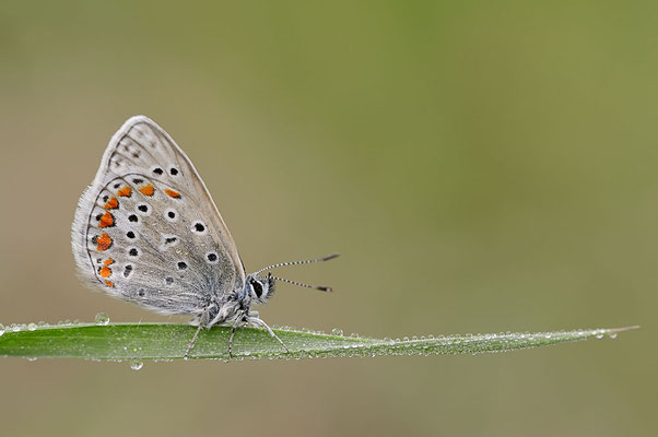 Hauhechel-Bläuling (Polyommatus icarus) / ch091001
