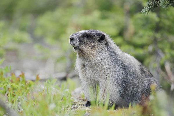Eisgraues Murmeltier (Marmota caligata) / ch160255