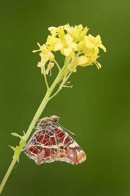 Landkärtchen (Araschnia levana) / ch088932